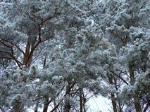 斯诺伊冷杉木在森林里 库存图片