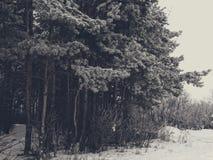 斯诺伊冷杉木在森林里 免版税库存照片