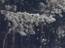 斯诺伊冷杉木在森林里 免版税库存图片