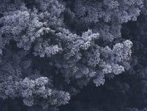 斯诺伊冷杉木在森林里 图库摄影
