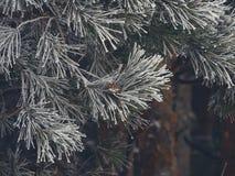 斯诺伊冷杉木在森林里 免版税图库摄影