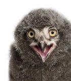 斯诺伊叫猫头鹰的小鸡,腹股沟淋巴肿块scandiacus 图库摄影