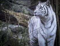 斯诺伊孟加拉白色老虎 库存图片