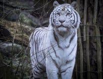 斯诺伊孟加拉白色老虎 免版税库存照片