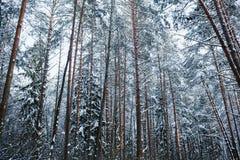 斯诺伊杉木森林 免版税库存图片