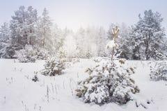 斯诺伊树在冬天在冷淡的森林白雪的森林阴天在树和植物 降雪 圣诞节自然 免版税库存图片