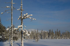斯诺伊树在Laplans,芬兰 图库摄影