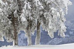 斯诺伊树,在孚日省的冬天,法国 免版税图库摄影