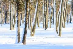 斯诺伊树晴朗的冬日 免版税库存照片