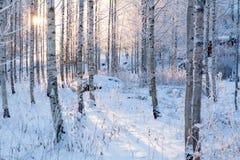斯诺伊桦树森林和太阳光 免版税图库摄影
