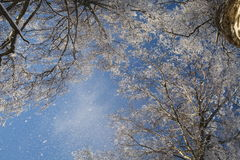 斯诺伊桦树森林 免版税库存图片