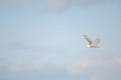 斯诺伊横跨冷漠的天空的猫头鹰飞行 免版税库存照片