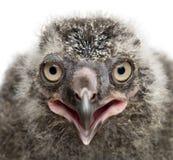 斯诺伊猫头鹰小鸡,腹股沟淋巴肿块scandiacus, 19天年纪反对白色后面 免版税图库摄影