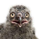 斯诺伊猫头鹰小鸡,腹股沟淋巴肿块scandiacus, 19天年纪 图库摄影