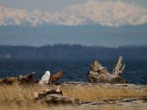 斯诺伊猫头鹰横向 免版税库存图片