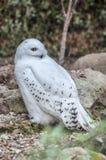 斯诺伊猫头鹰狩猎 库存照片