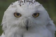 斯诺伊猫头鹰画象 免版税库存图片