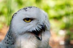 斯诺伊猫头鹰腹股沟淋巴肿块scandiacus大白色鸟 免版税库存图片