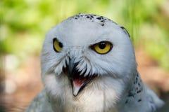 斯诺伊猫头鹰腹股沟淋巴肿块scandiacus大白色鸟 库存照片