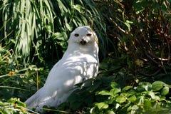 斯诺伊猫头鹰腹股沟淋巴肿块scandiacus大白色鸟 图库摄影