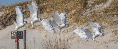 斯诺伊猫头鹰飞行序列 免版税图库摄影
