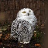 斯诺伊猫头鹰,腹股沟淋巴肿块scandiacus是猫头鹰家庭的一头大,白色猫头鹰 免版税库存图片