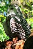 斯诺伊猫头鹰(腹股沟淋巴肿块Scandiacus 免版税图库摄影