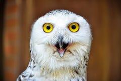 斯诺伊猫头鹰-腹股沟淋巴肿块scandiacus :特写镜头 免版税库存图片