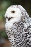 斯诺伊猫头鹰(腹股沟淋巴肿块scandiacus) 免版税库存照片