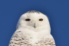 斯诺伊猫头鹰凝视 库存图片