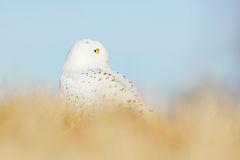 斯诺伊猫头鹰在有蓝天的草甸 与坐在草、场面与清楚的前景和backgroun的黄色眼睛的鸟多雪的猫头鹰 免版税库存照片
