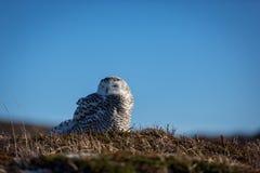 斯诺伊猫头鹰坐地面 库存照片