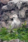 斯诺伊猫头鹰或腹股沟淋巴肿块scandiacus 免版税图库摄影