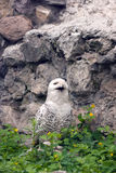 斯诺伊猫头鹰或腹股沟淋巴肿块scandiacus 免版税库存照片