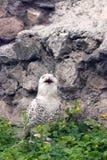 斯诺伊猫头鹰或腹股沟淋巴肿块scandiacus 库存照片