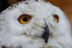 斯诺伊猫头鹰白色猫头鹰 免版税库存照片