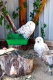 斯诺伊猫头鹰露天在动物园在乌克兰 图库摄影