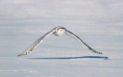 斯诺伊猫头鹰飞行本质上 免版税图库摄影