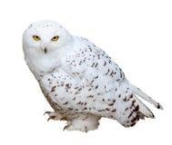 斯诺伊猫头鹰,被隔绝在白色b 库存照片