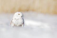 斯诺伊猫头鹰, Nyctea scandiaca,与黄色眼睛的白色稀有人物坐雪在冷的冬天期间,与开放票据,芬兰 胜利 免版税库存图片