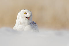 斯诺伊猫头鹰, Nyctea scandiaca,与黄色眼睛的白色稀有人物坐雪在冷的冬天期间,与开放票据,马尼托巴,加州 免版税图库摄影