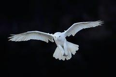 斯诺伊猫头鹰, Nyctea scandiaca,白色稀有人物飞行在黑暗的森林里,冬天与开放翼的行动场面,加拿大 免版税图库摄影