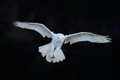 斯诺伊猫头鹰, Nyctea scandiaca,白色稀有人物飞行在黑暗的森林里,冬天与开放翼的行动场面,加拿大 免版税库存图片