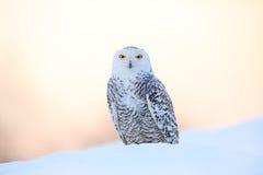 斯诺伊猫头鹰, Nyctea scandiaca,稀有人物坐雪,与雪花的冬天场面在风,清早场面,在sunr前 库存图片