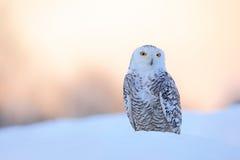 斯诺伊猫头鹰, Nyctea scandiaca,稀有人物坐雪,与雪花的冬天场面在风,清早场面,在sunr前 免版税库存照片