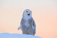 斯诺伊猫头鹰, Nyctea scandiaca,稀有人物坐雪,与雪花的冬天场面在风,清早场面,在sunr前 免版税库存图片