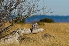 斯诺伊猫头鹰(腹股沟淋巴肿块scandiacus)。 免版税库存照片