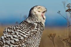 斯诺伊猫头鹰(腹股沟淋巴肿块scandiacus)。 库存图片