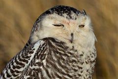 斯诺伊猫头鹰(腹股沟淋巴肿块scandiacus)。 图库摄影