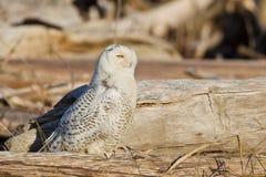 斯诺伊猫头鹰(腹股沟淋巴肿块scandiacus)。 免版税库存图片